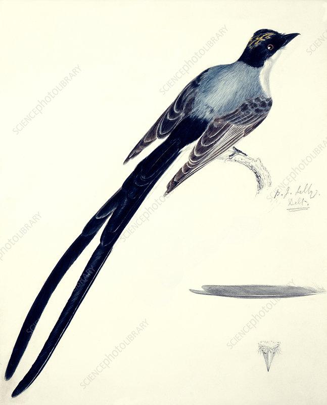 Fork-tailed flycatcher, artwork