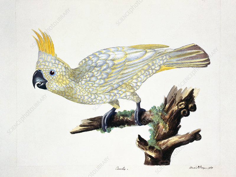 Yellow-crested cockatoo, artwork