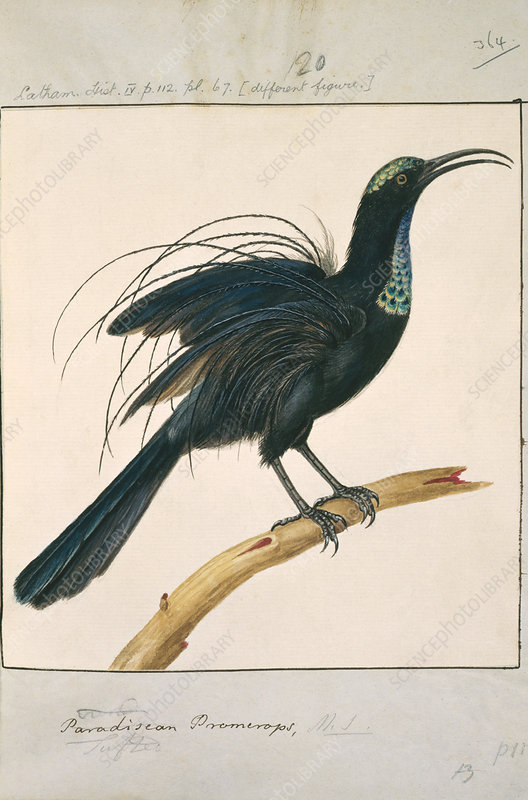 Magnificant riflebird, artwork