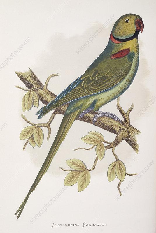 Alexandrine parakeet, 19th century