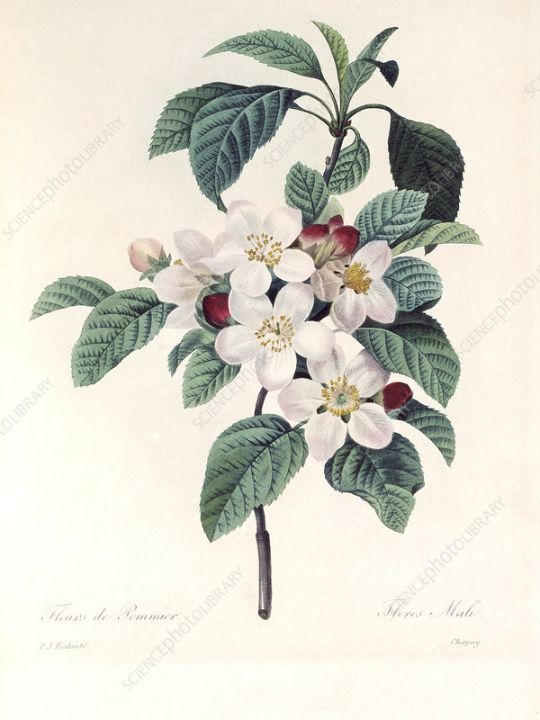 Apple blossom, 19th century
