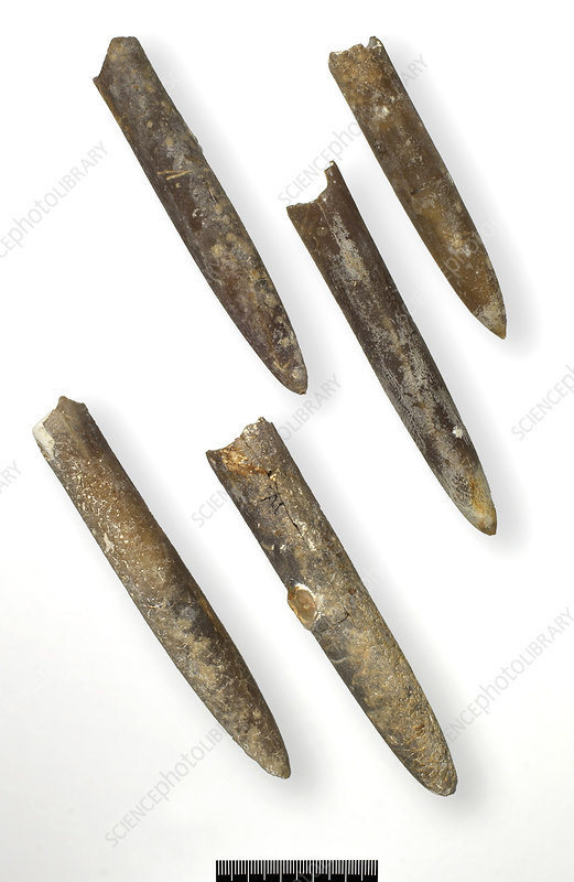 Belemnite fossils (Belemnitella minor)