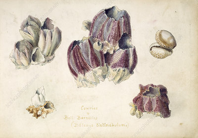 Indian barnacles, early 20th century