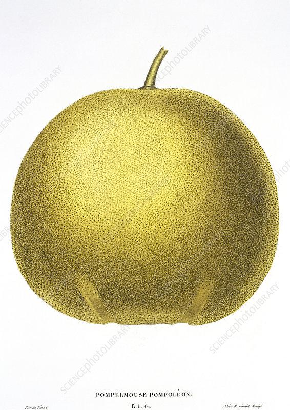 Grapefruit, 19th century