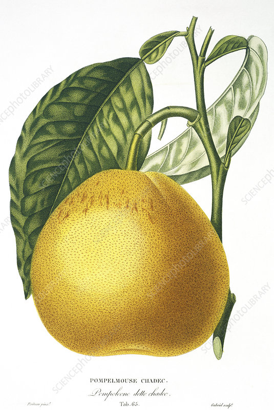 Grapefruit, 19th century