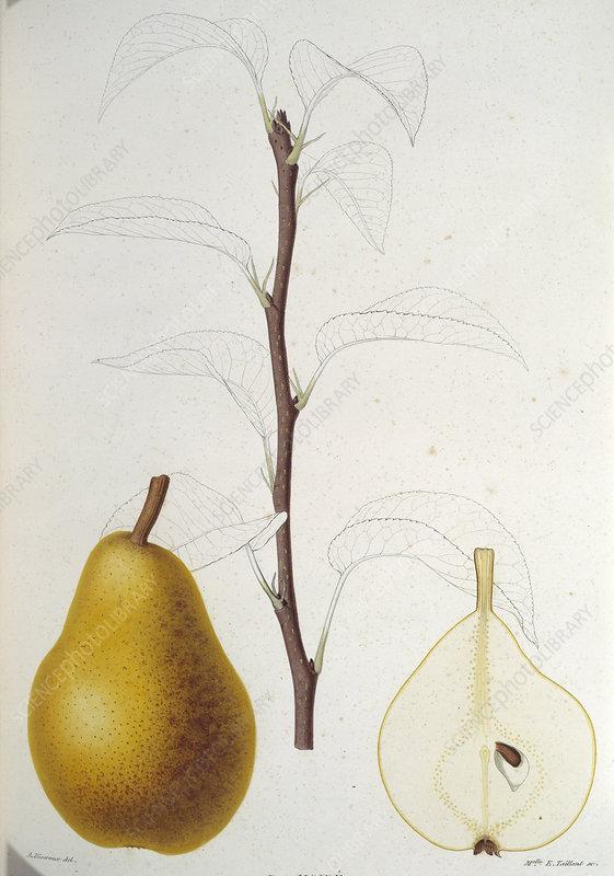 Pear, 19th century