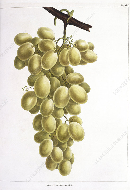Grapes, 19th century