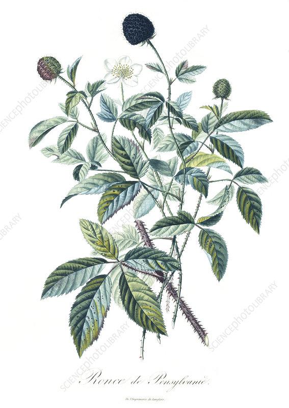 Blackberries, 18th century