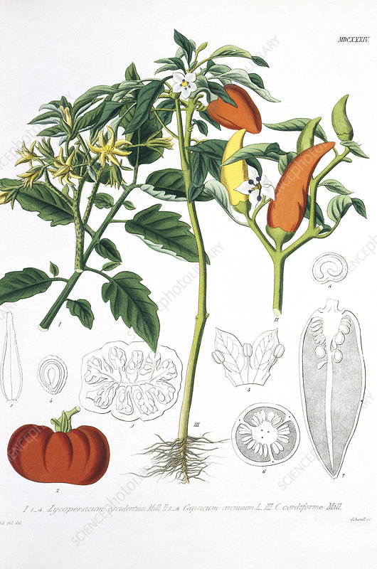 Tomato and peppers, historical artwork