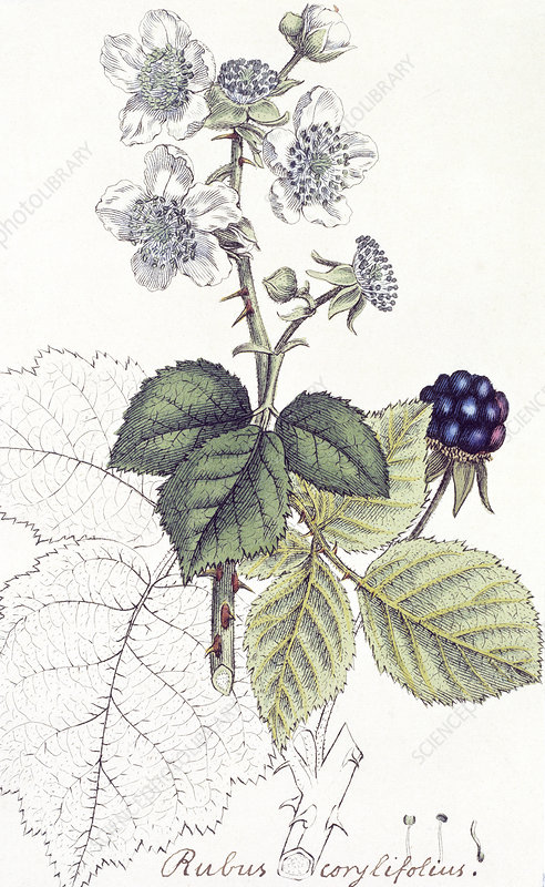 Blackberry plant, historical artwork