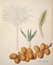 Palm date tree, historical artwork
