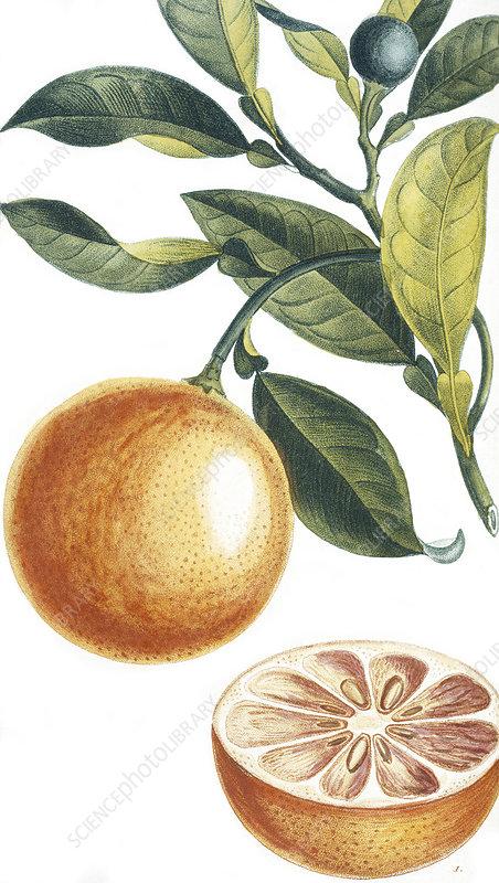Orange, 19th century