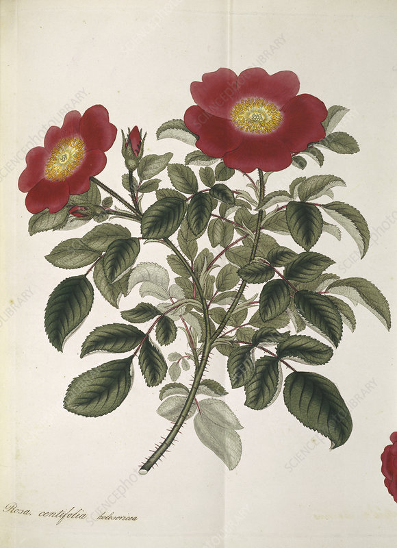 Cabbage rose, historical artwork