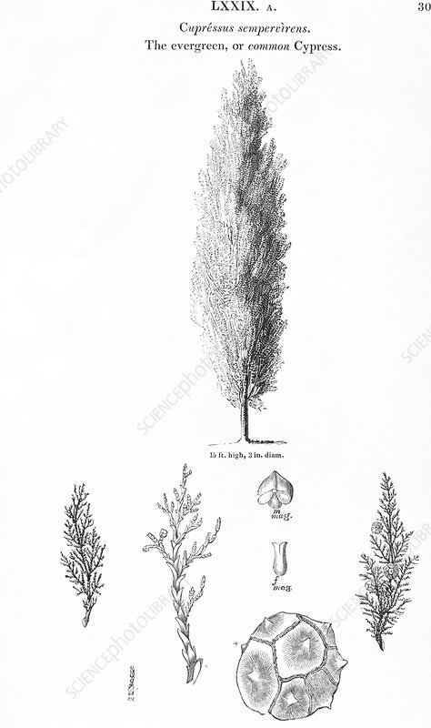 Italian cypress, historical artwork