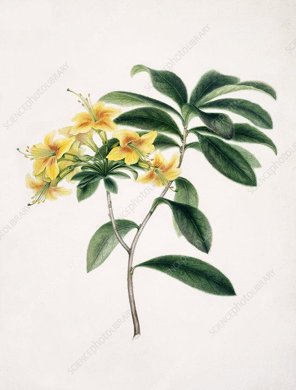 Yellow azalea, 18th century
