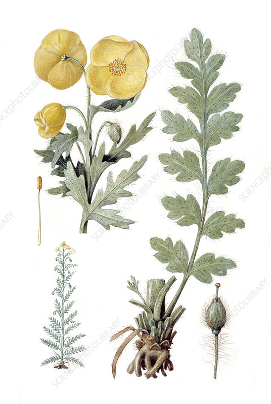 Yellow poppy, historical artwork
