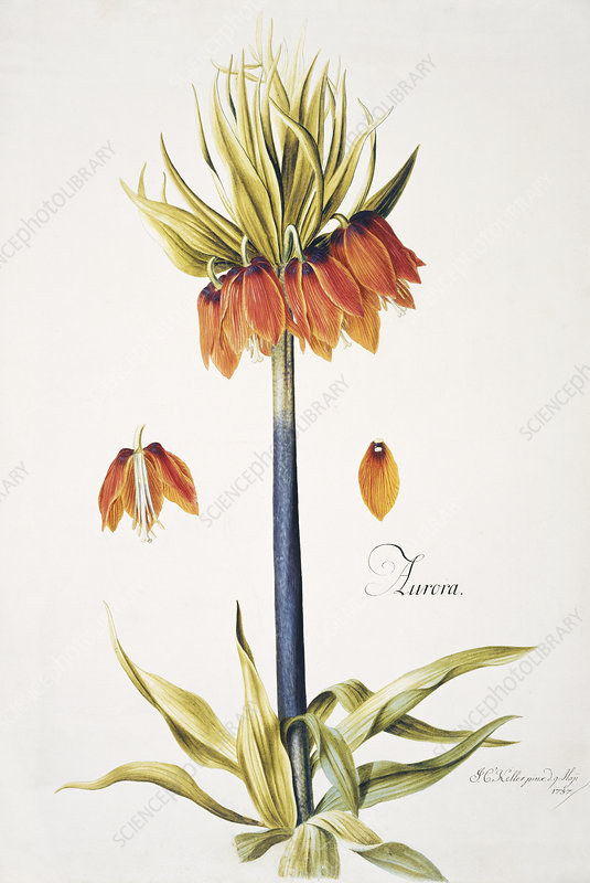 Crown imperial, 18th century