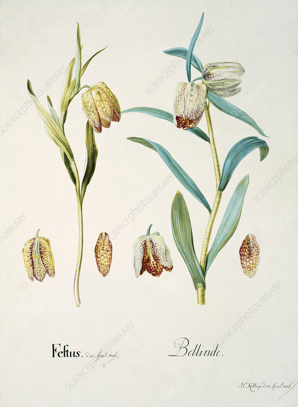 Fritillary flowers, 18th century