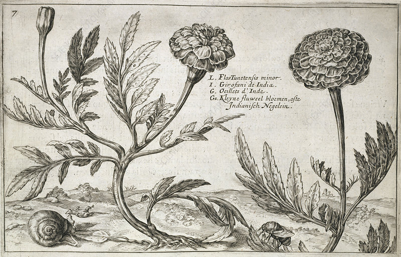 Marigold flowers, 17th century