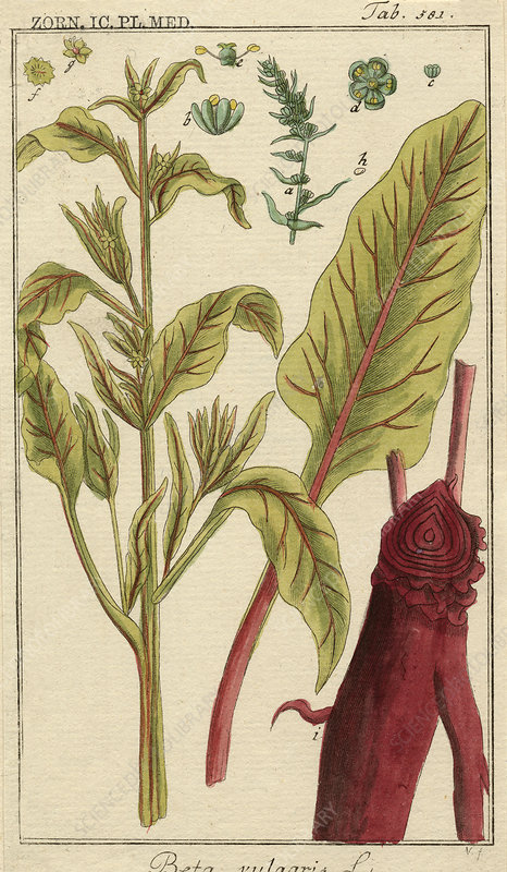 Spinach beet, 18th century