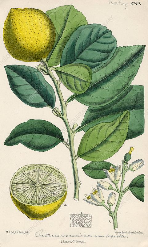 Citron, 19th century