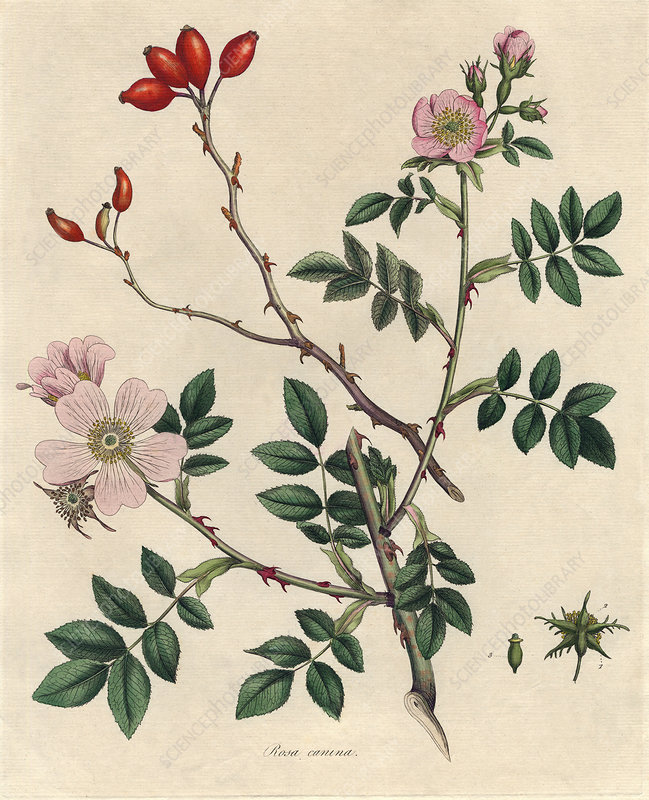 Dog rose, historical artwork
