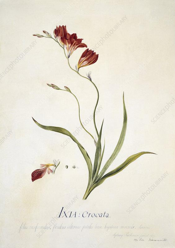 Corn lily, 18th century
