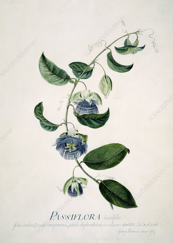 Passion flower, 18th century