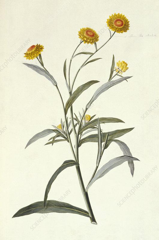 Strawflower, 18th century