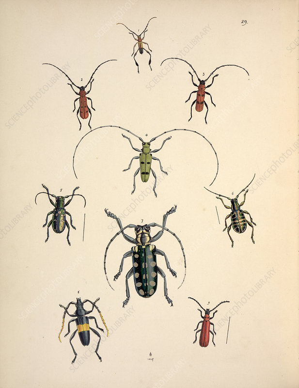 Cerambycid beetles, 19th century