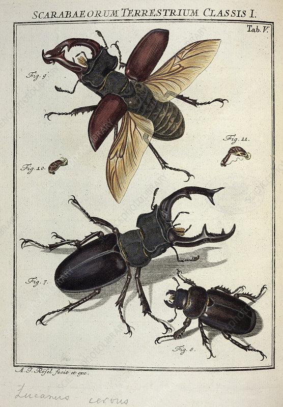 Lucanus stag beetle, 18th century