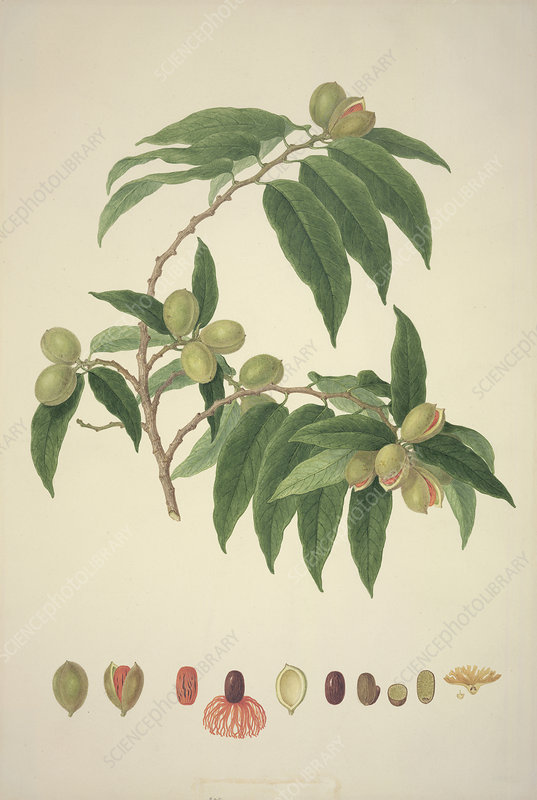 Nutmeg plant, historical artwork