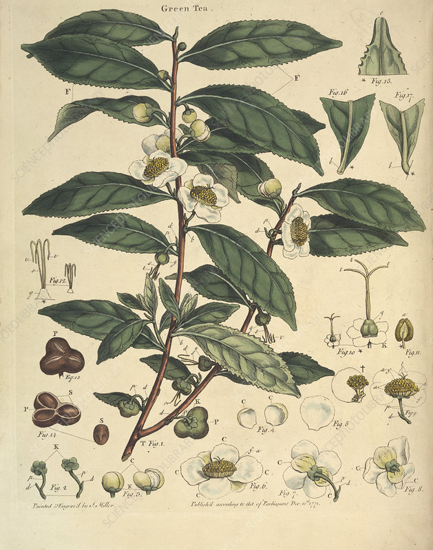 Natural History of the Tea Tree, 1769