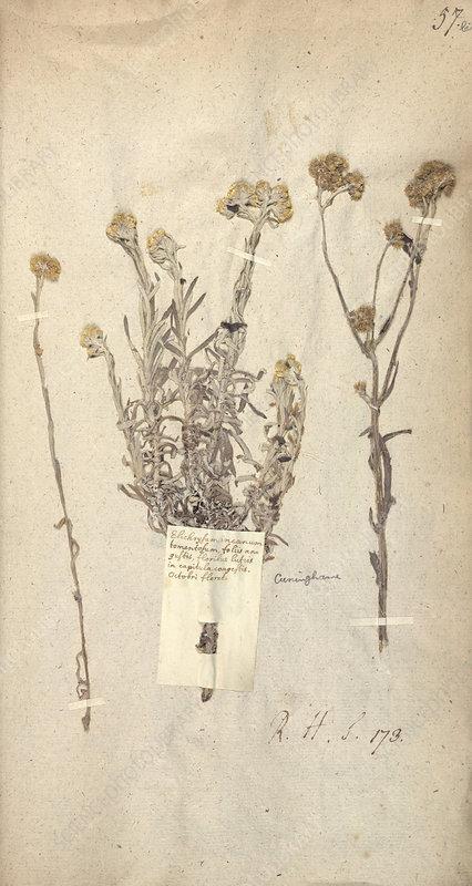 Matricaria plant, 17th century