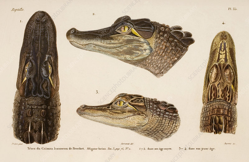 American alligator, 19th century