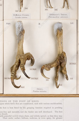 Osprey feet, museum display