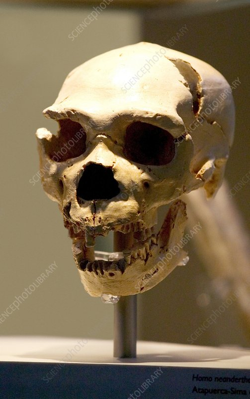 Neanderthal skull, museum display