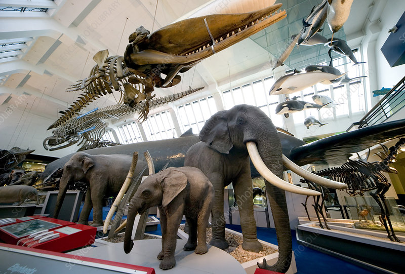Natural History Museum S Mammal Gallery Stock Image C010 8598 Science Photo Library