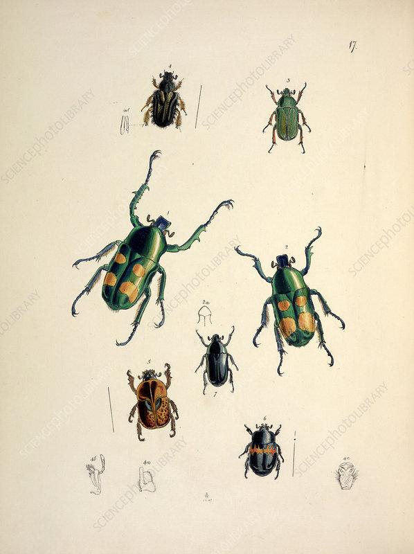Goliath beetles, 19th century
