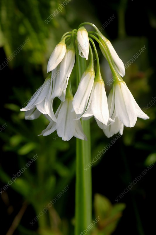 Three-cornered Leek (Allium triquetrum)