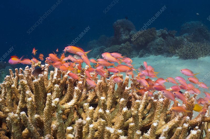 Peach anthias and staghorn coral