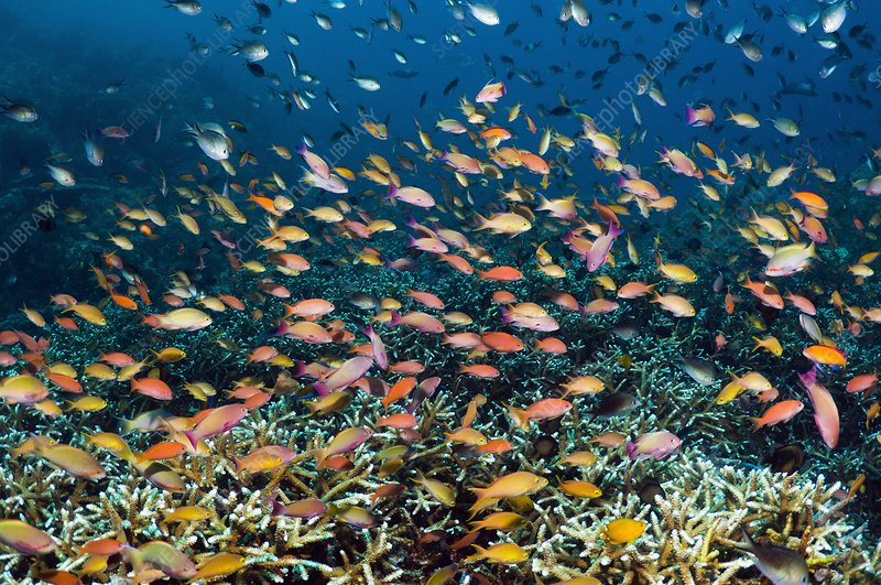 Anthias over a reef