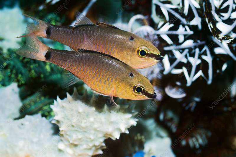 False ear-spot cardinalfish