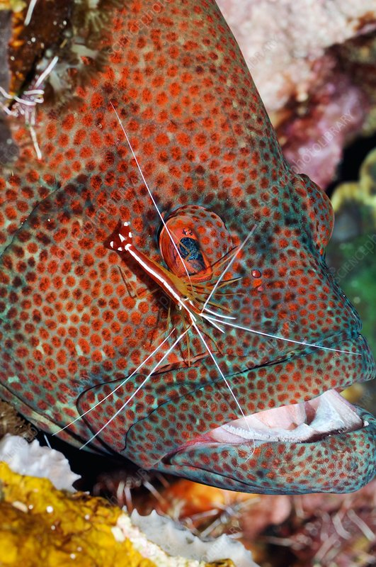 cleaner fish and grouper symbiotic relationship worksheet