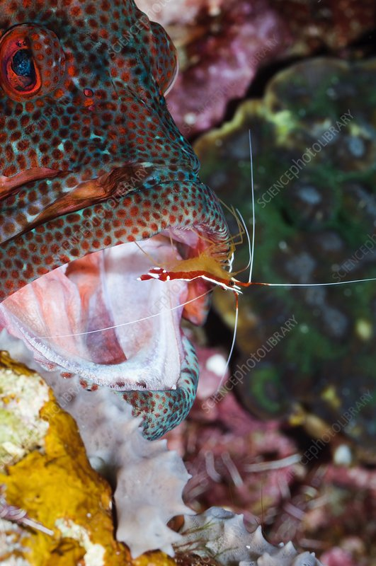 Cleaner shrimp on a grouper
