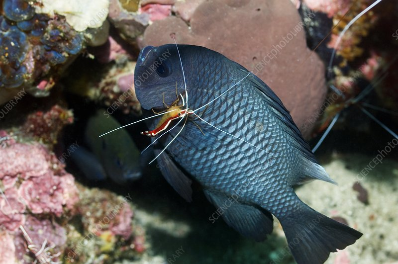 Cleaner shrimp on a damselfish