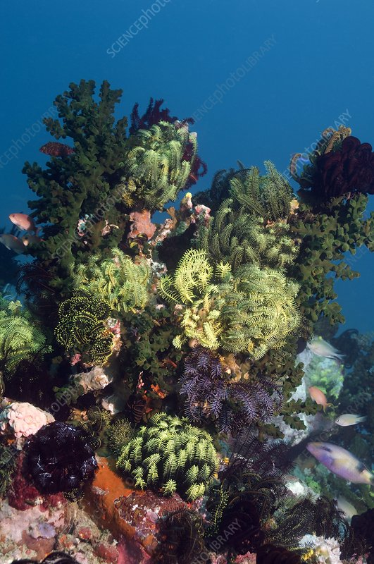 Featherstars on a reef
