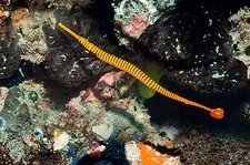 Flagtail pipefish with eggs