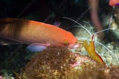 Cleaner shrimp cleaning an anthia