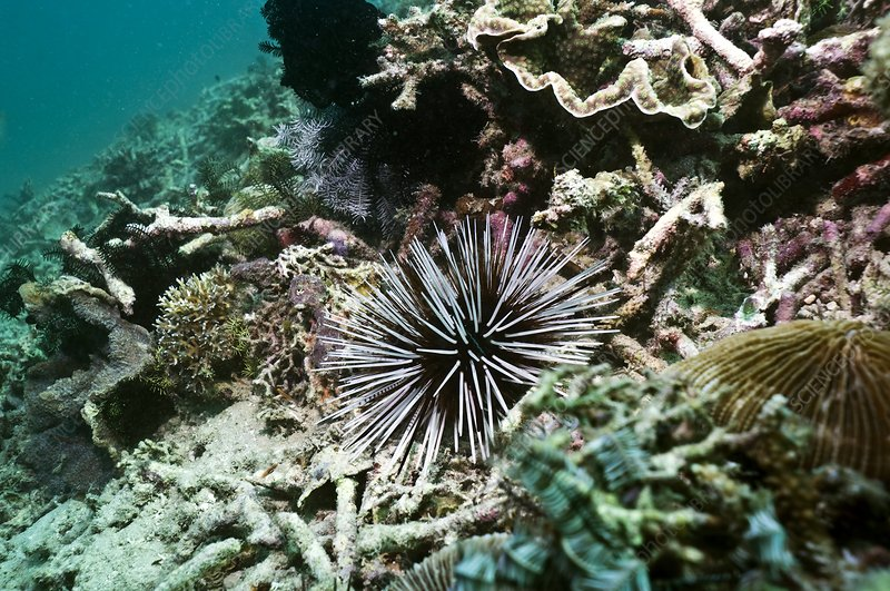 Banded sea urchin on a reef